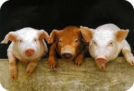 Cochon halal: Réponse de la Mosquée de Paris au sujet de AL KANZ