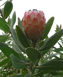 interesting facts about protea flowers flower pressflower press