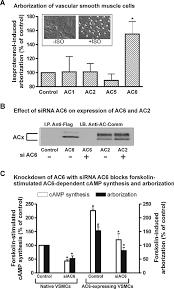 adenylyl cyclase isoform u2013selective regulation of vascular smooth