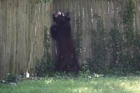 black bear cornered on grant avenue in scotch plains scotch