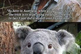 Angry Koala Meme - unique angry koala meme wet koala bear meme kayak wallpaper
