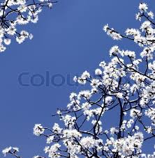 Trees With White Flowers Blooming Spring Tree Branches With White Flowers Over Blue Sky