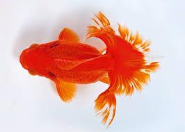 65 best goldfish images on aquarium aquarium ideas