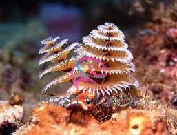 freshmarine tree worm rock spirobranchus species