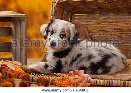 australian shepherd puppies 7 weeks mini aussies stock photos u0026 mini aussies stock images alamy