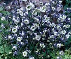 delphinium flowers how to grow delphinium plants ranunculaceae flowers delphinium seeds