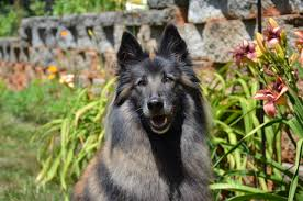 belgian sheepdog michigan leerburg 2014 photo contest