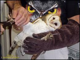 The Barn Owl Carol Stream Drew U0027s Birds November 2006
