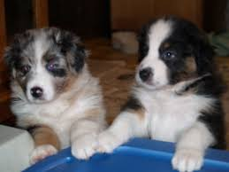 twin oaks 2 australian shepherd australian shepherds by cinnamon pippi u0027s family photos