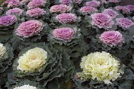 flowering cabbage kale