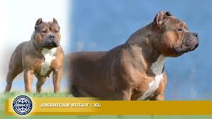 american pit bull terrier registry xl the american bully registry