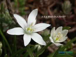 of bethlehem flower of bethlehem flower or a green
