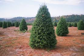 douglas fir christmas tree a e farms vineyards oregon vineyards grapes and christmas trees