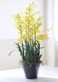 yellow orchids yellow oncidium orchids winward home permanent
