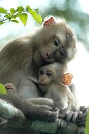bentley orangutan 25 best extinct images on pinterest extinct animals endangered