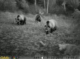 Bears Montana Hunting And Fishing - bigfork hunters beware of grizzly bears montana hunting and