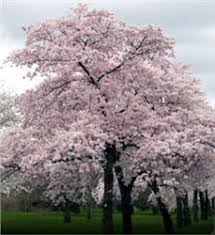 japanese flowering cherry tree on the tree guide at arborday org