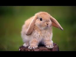 comment cuisiner du lapin comment cuisiner lapin domestique how to cook your rabbit