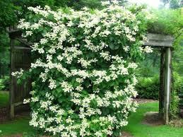 Fragrant Climbing Plant - best 25 climbing vines ideas on pinterest clematis trellis