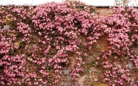 pink clematis brick wall wallpapers pink clematis brick wall