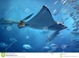 ray fish stock photos images u0026 pictures 6 604 images
