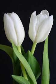 tulips flowers white tulips flowers pictures best 25 tulip flowers ideas