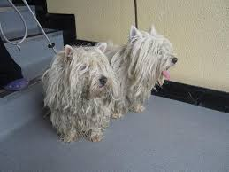 images of westie hair cuts ispca rescue aj and skully get much needed hair cuts read how our