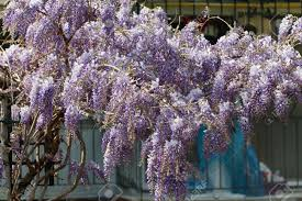 purple wisteria flowers in spring wisteria trellis purple