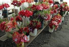 Hilo Flowers - anthurium flowers are very popular here picture of hilo farmers
