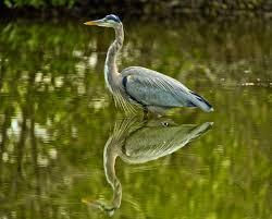 heron meaning reddish egret steve upton photography