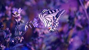 results for real purple butterflies wallpaper the banque