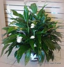 Peace Lily Plant Peace Lily Plant In North Babylon Ny Gifts From The Heart Florist