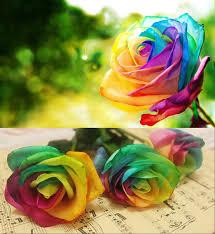 beautiful plants beautiful rainbow rose seeds multi colored rare rainbow rose flower