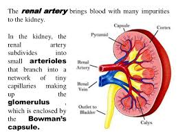 respiratory system and circulatory system working together with other u2026