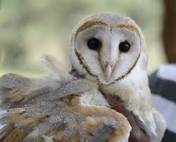 What Does A Barn Owl Look Like Money Grubbers Hunt For Animals With U0027lucky U0027 Charm The Hindu
