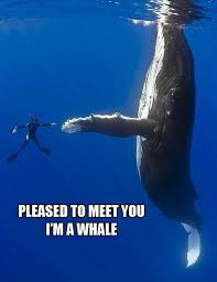 Whale Meme - pleased to meet you i m a whale memes and comics