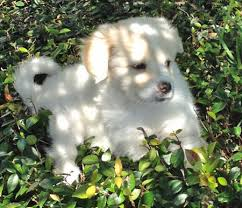 american eskimo dog lab mix addie the american eskimo mix puppies daily puppy