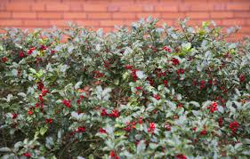 native hedging plants cold hardy hedges u2013 tips on growing a hedge in zone 6 climates