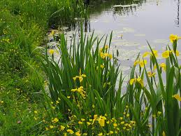 native water plants what pond plants pond stars uk