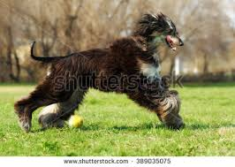 afghan hound speed beautiful afghan hound dog summer runs stock photo 389035204