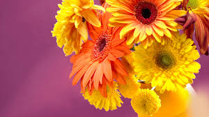 yellow daisy wallpapers photo collection gerbera daisy wallpaper for computer