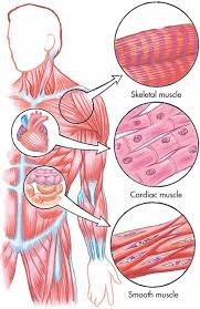 09a muscular system