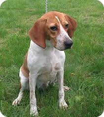 bluetick coonhound rescue nc red tick coonhound profile for spot adopted a male