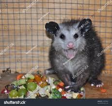 caring baby possum stock photo 79078408 shutterstock
