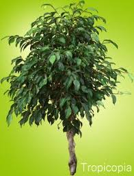 weeping fig ficus benjamina common house plants large house
