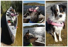 australian shepherd quiz kurgo surfnturf life jacket giveaway tiffany u0027s diamond dogs
