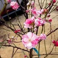 buy peppermint flowering tree peppermint flowering