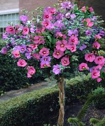 Which State Has A Hibiscus by Rose Of Sharon Hibiscus Tree So Pretty Gardening Pinterest