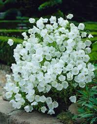 12 Best Annual Flowers For by 12 Best Campanules Images On Pinterest Plants Beautiful Flowers