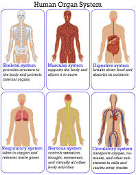 organ system overview worksheet human anatomy chart